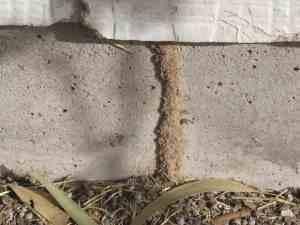 termite tunnel